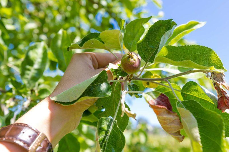 Obstbaumschnitt, Hand greift nach Apfel